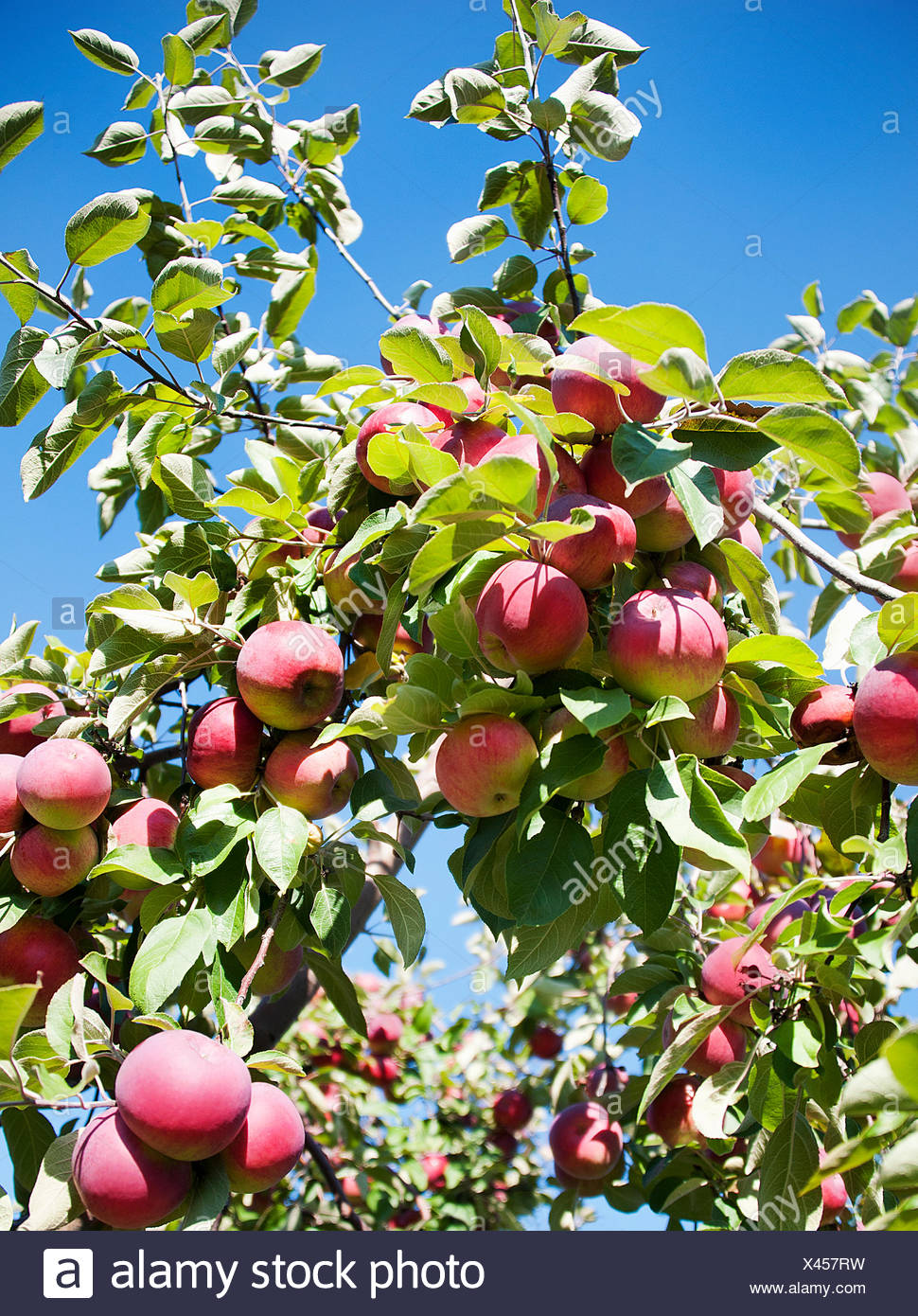 Apple tree with fruit Stock Photo