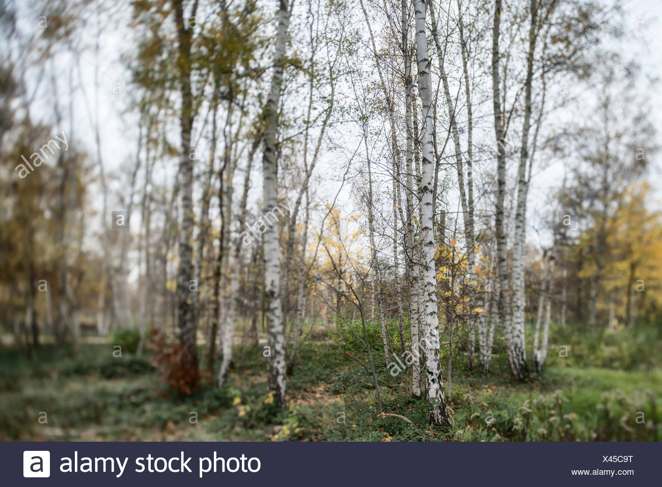 Birch forest in autumn, selective focus - Stock Image
