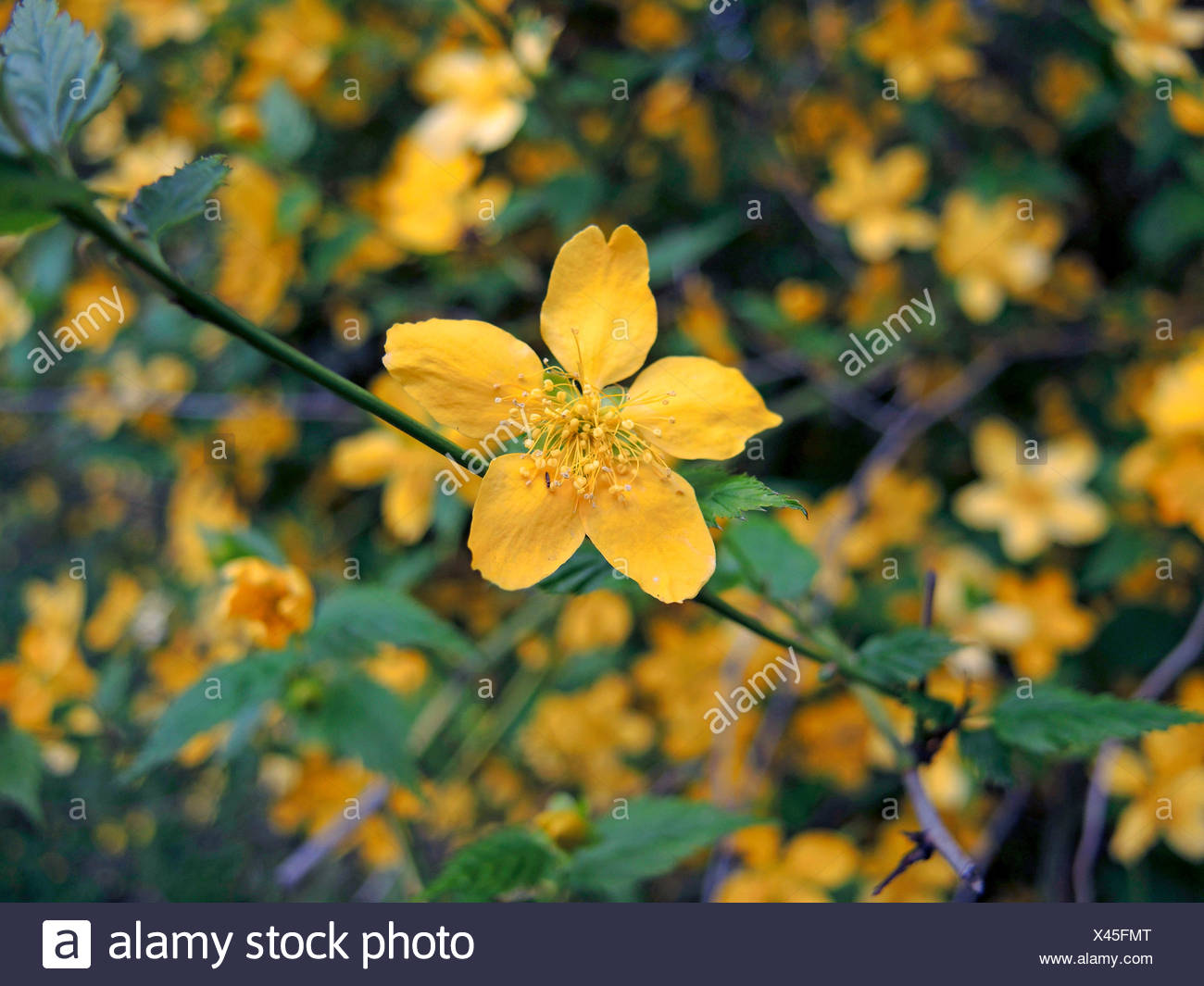 Japanese Rose, Jew's Mallow, Jews Mallow (Kerria japonica), with simpe flowers - Stock Image