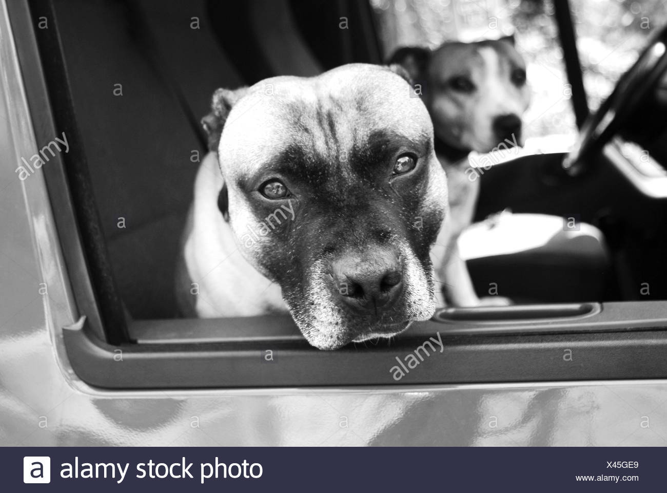 Two Staffordshire bull terriers sitting in a car - Stock Image