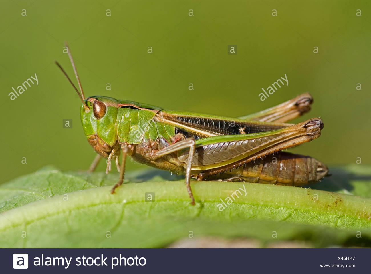 stripe-winged grasshopper, lined grasshopper (Stenobothrus lineatus), sitting on leaf, Germany - Stock Image