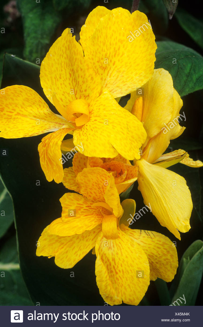 Canna Tropical Yellow Yellow Flower Flowers Exotic Garden Plant