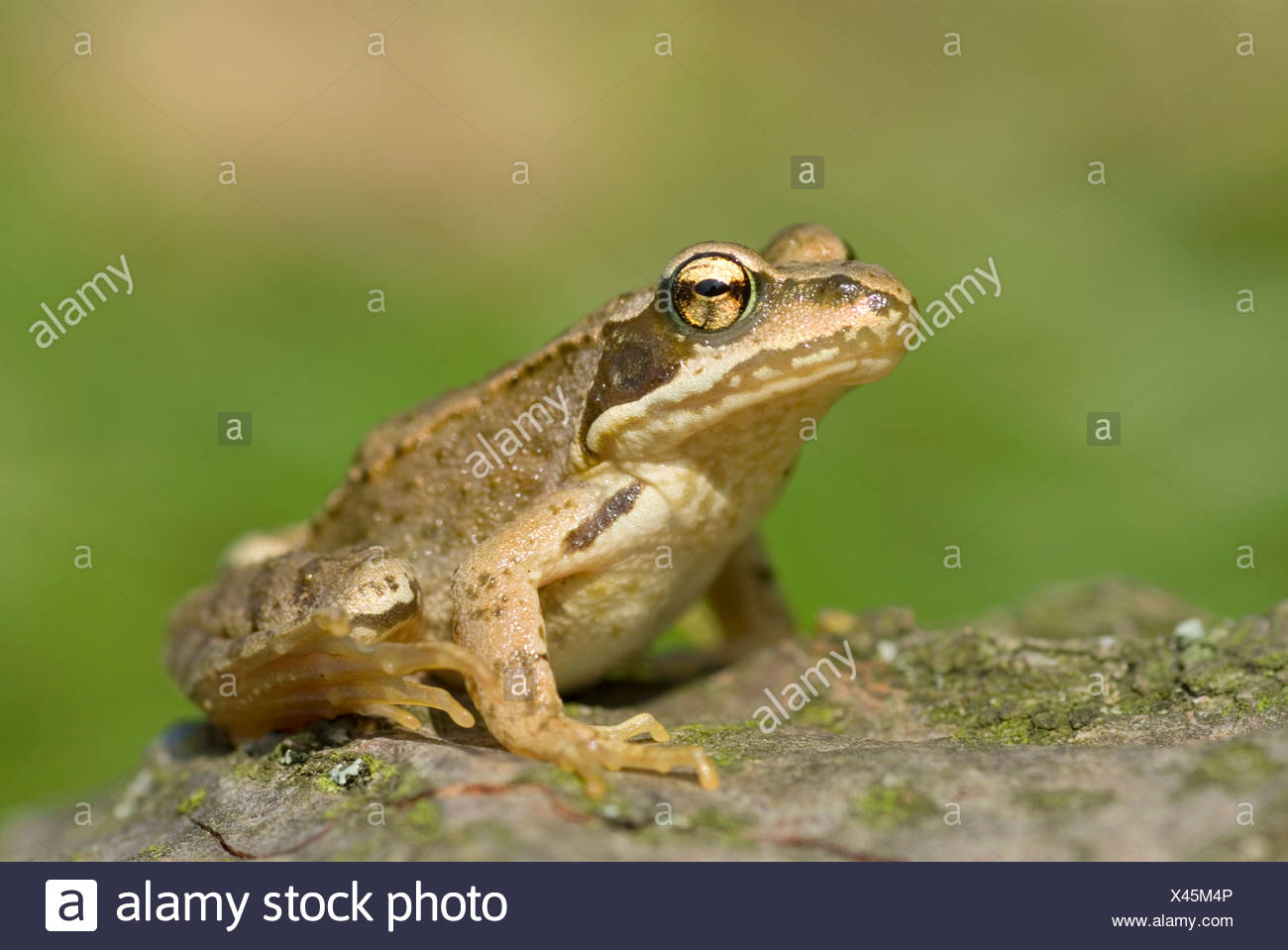 common frog, grass frog (Rana temporaria), sitting on a stone, Switzerland - Stock Image