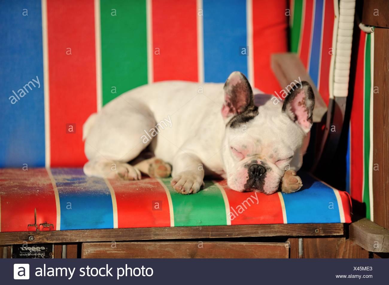 sleeping French Bulldog Stock Photo