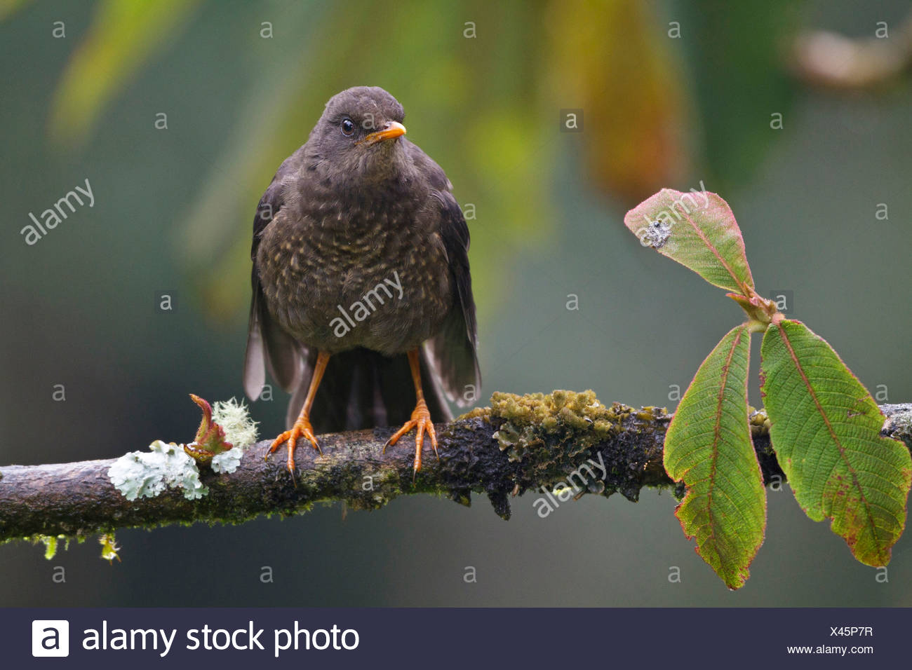 Great Thrush (Turdus fuscater) perched on a branch in Ecuador. - Stock Image