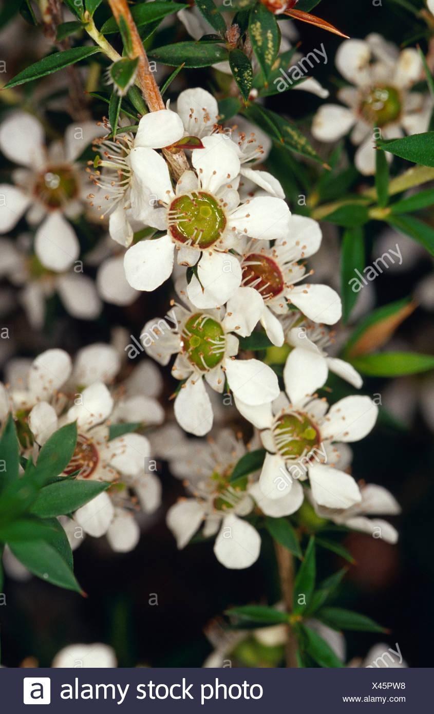 The Delicate White Flowers Of The Manuka Leptospermum Scoparium