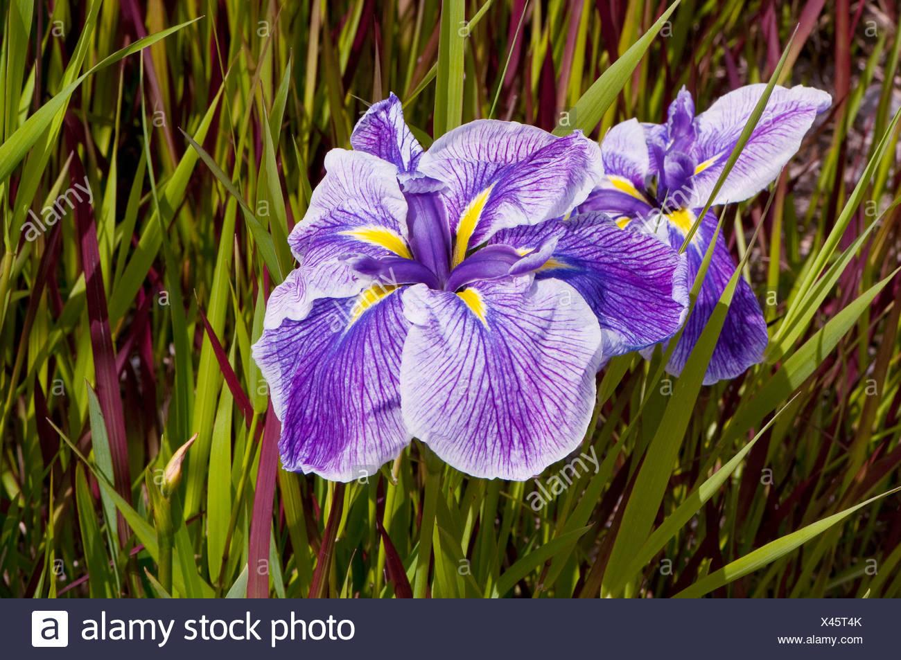 Bulbous Iris - Stock Image