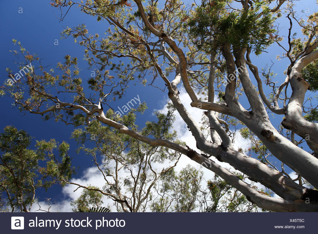 Tree, eucalyptus, karri, Ghost Gum, white, trunk, koala, endemically, typical, bark, sky, from below, leaf, leaves, nature, fire - Stock Image