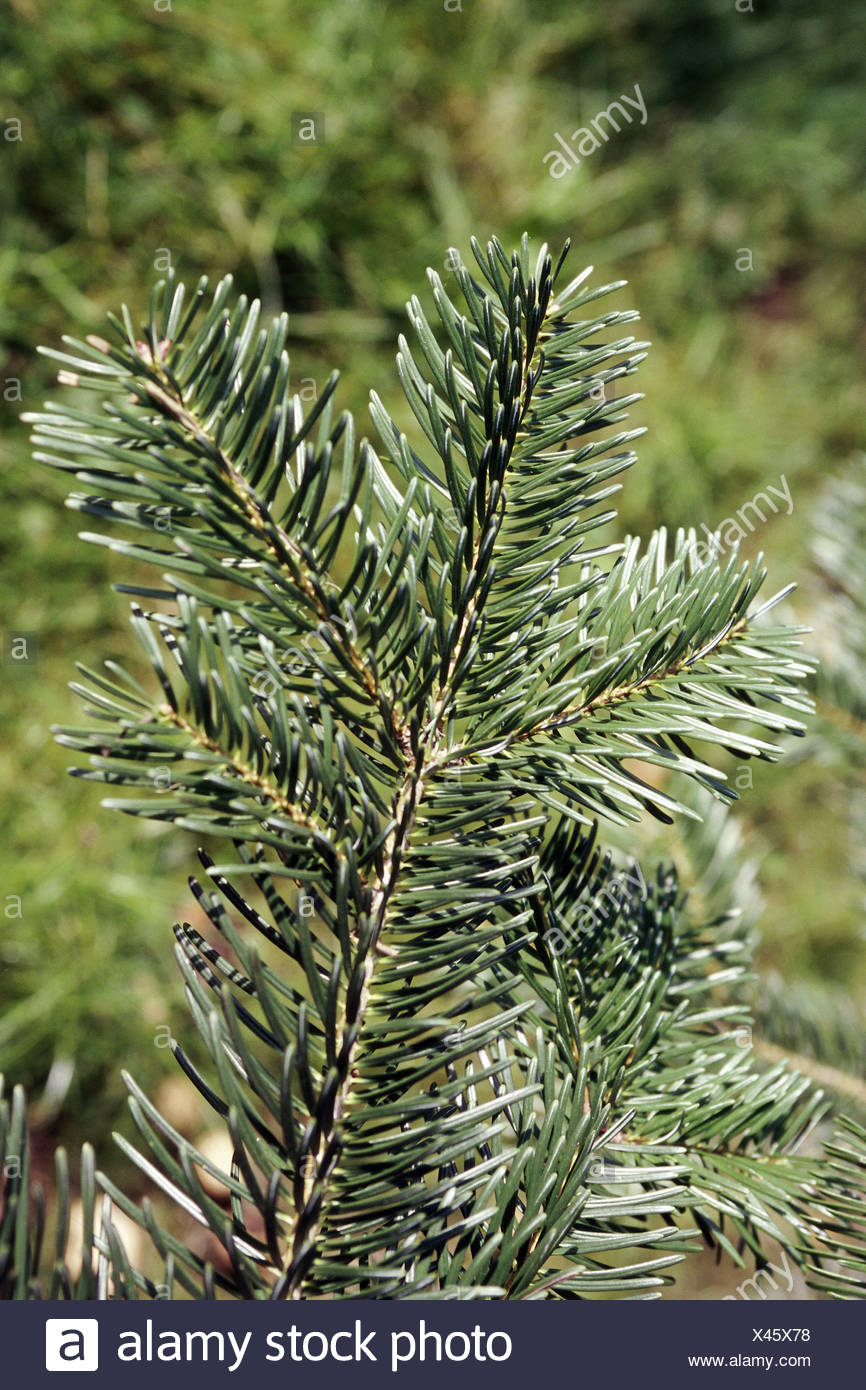 botany, fir (Abies), Abies equi-trojani (nordmanniana ssp. equi trojani), leaves at branch, Additional-Rights-Clearance-Info-Not-Available - Stock Image