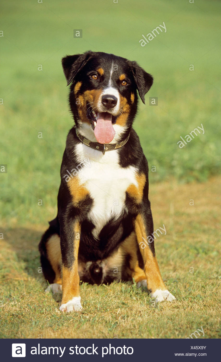 Appenzeller Sennenhund Dog Sitting On A Meadow Stock Photo