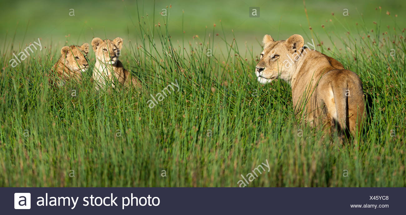 Female African Lion with 4 month old cubs, Big Marsh, Ndutu, Serengeti, Tanzania - Stock Image