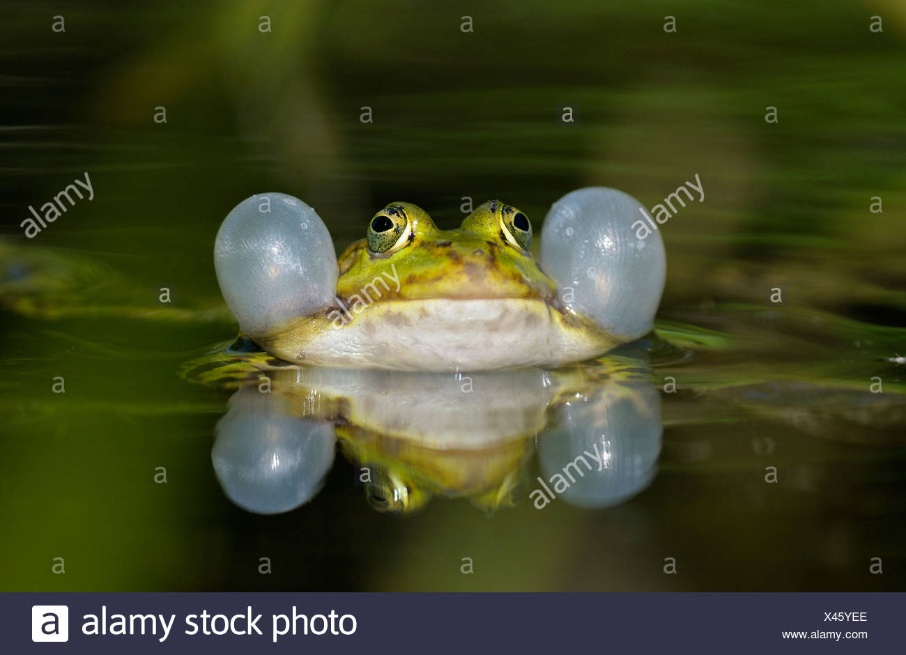 European edible frog, common edible frog (Rana kl. esculenta, Rana esculenta), male croaking with vocal sacs during the spawning season, Germany, North Rhine-Westphalia - Stock Image
