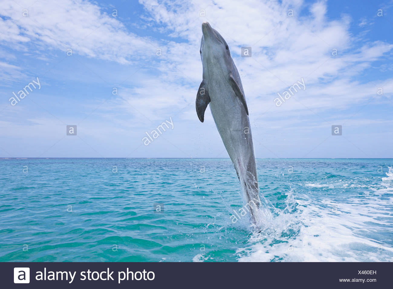 Latin America, Honduras, Bay Islands Department, Roatan, Caribbean Sea, View of bottlenose dolphin jumping in seawater - Stock Image