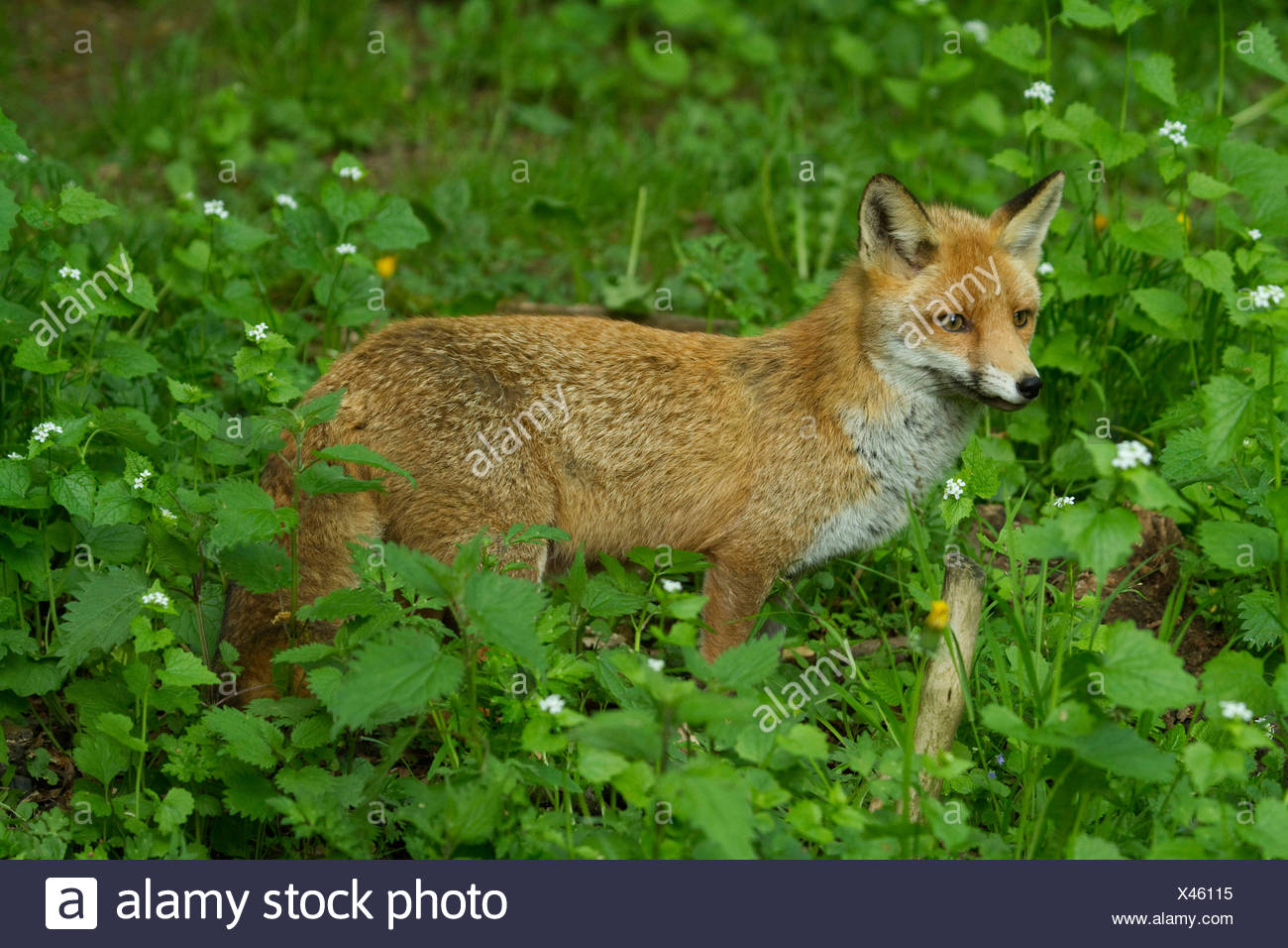 red fox (Vulpes vulpes), ranging a glade, Germany - Stock Image