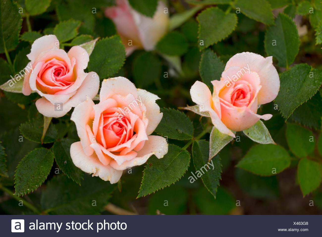 Barbara Mandrell rose, Heirloom Roses, St Paul, Oregon. - Stock Image