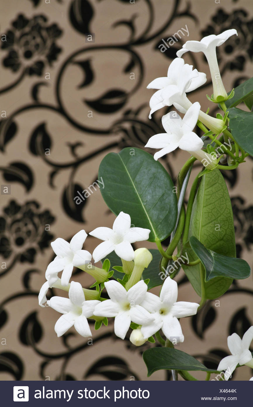 Jasmine plant indoor stock photos jasmine plant indoor stock madagascar jasmine or waxflower blossoms indoor plant climbing plant stock image izmirmasajfo