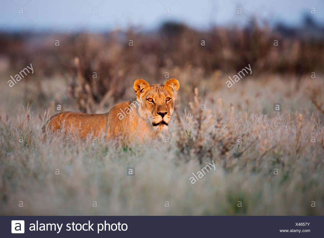 Africa, Botswana, Lioness in central kalahari game reserve - Stock Image