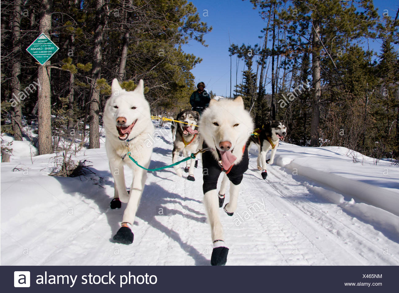 Dog sled team with musher photographed from front, with two white lead dogs, Trans Canada Trail, Yukon Territory, Canada - Stock Image