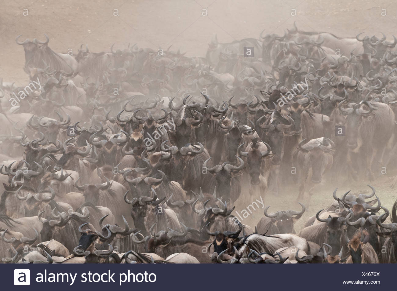 Africa Kenya Maasai Mara National Park Blue or Common Wildebeest (Connochaetes taurinus) wildebeest migration running on the - Stock Image