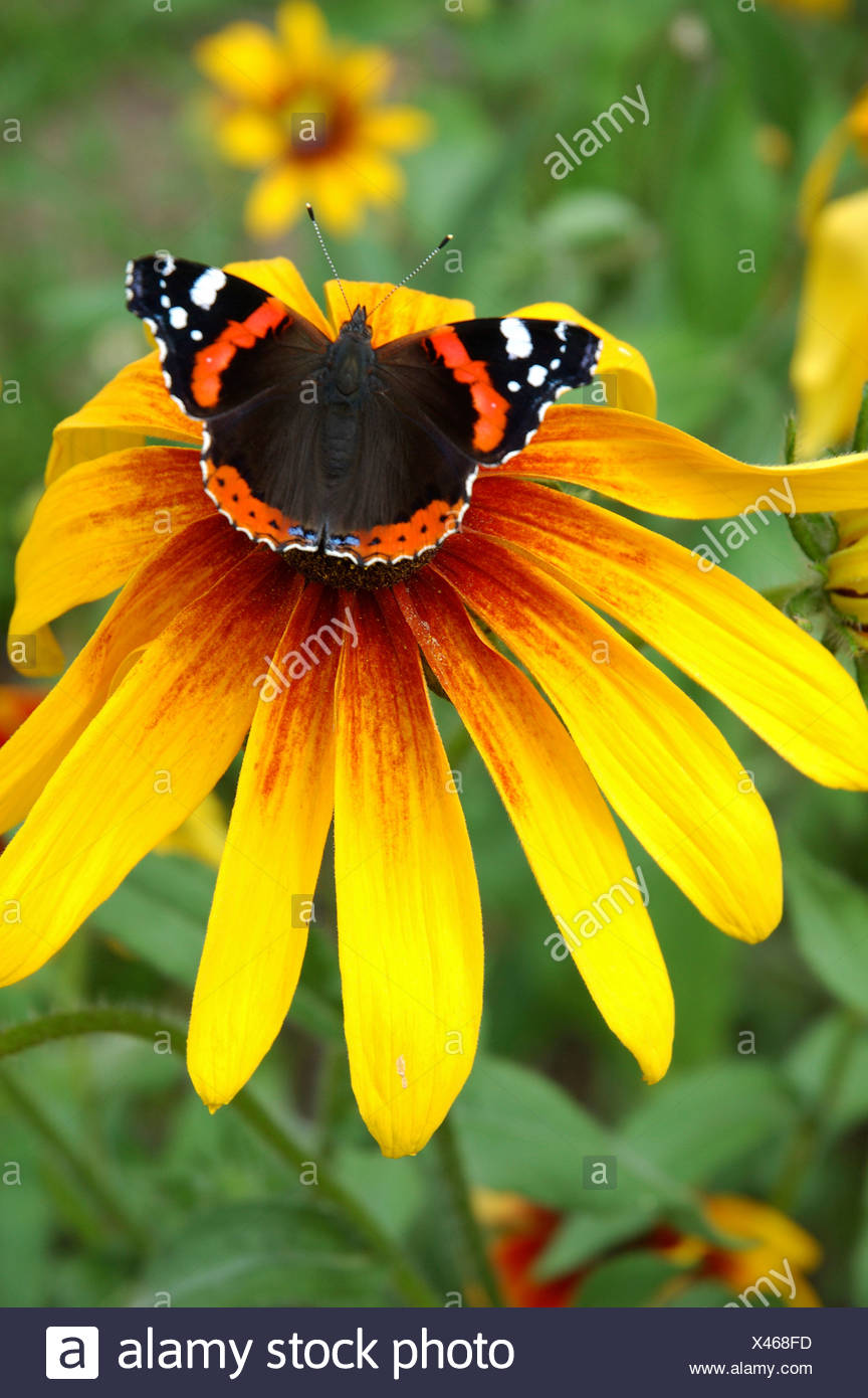 A butterfly rests on the anther of a yellow petaled flower Admiral - Stock Image