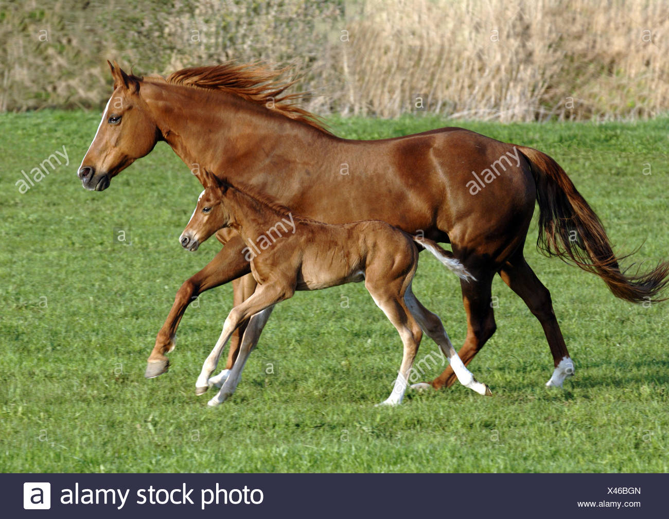 Paddock, mare, foal, run, animals, horses, Quarter, young animal, colt, mother animal, motion, motor activity, keeping of pets, horse breeding, horse's race, thoroughbred horses, mammals, benefit animals, horse's position, warm blood, outlet, at the side, - Stock Image