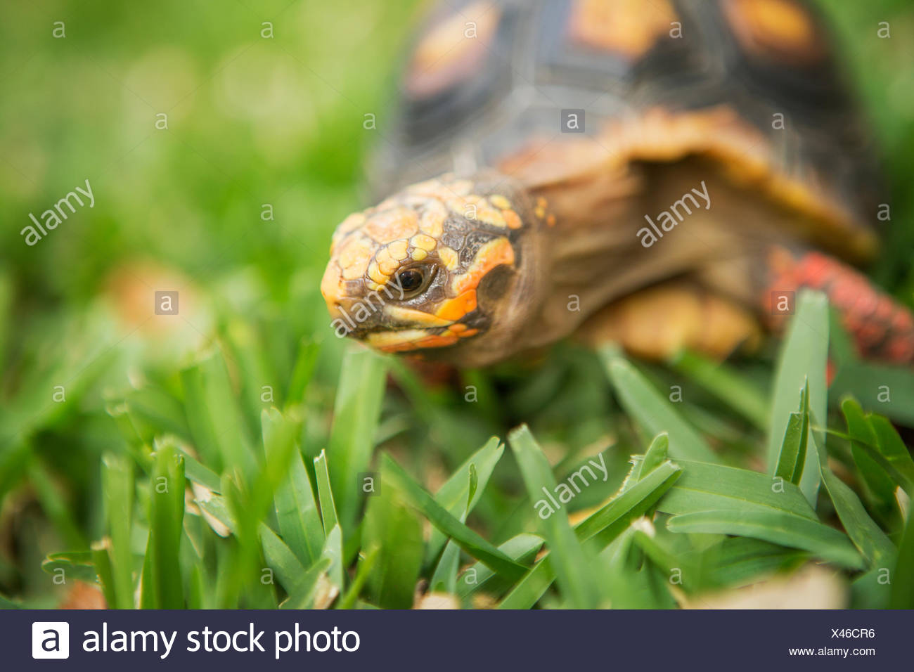 A small turtle or terrapin moving across grass. Stock Photo