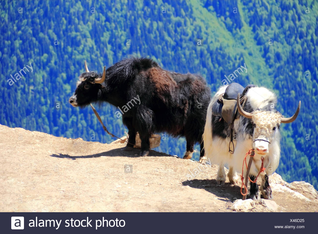 Two shaggy yaks in Caucasus mountains - Stock Image