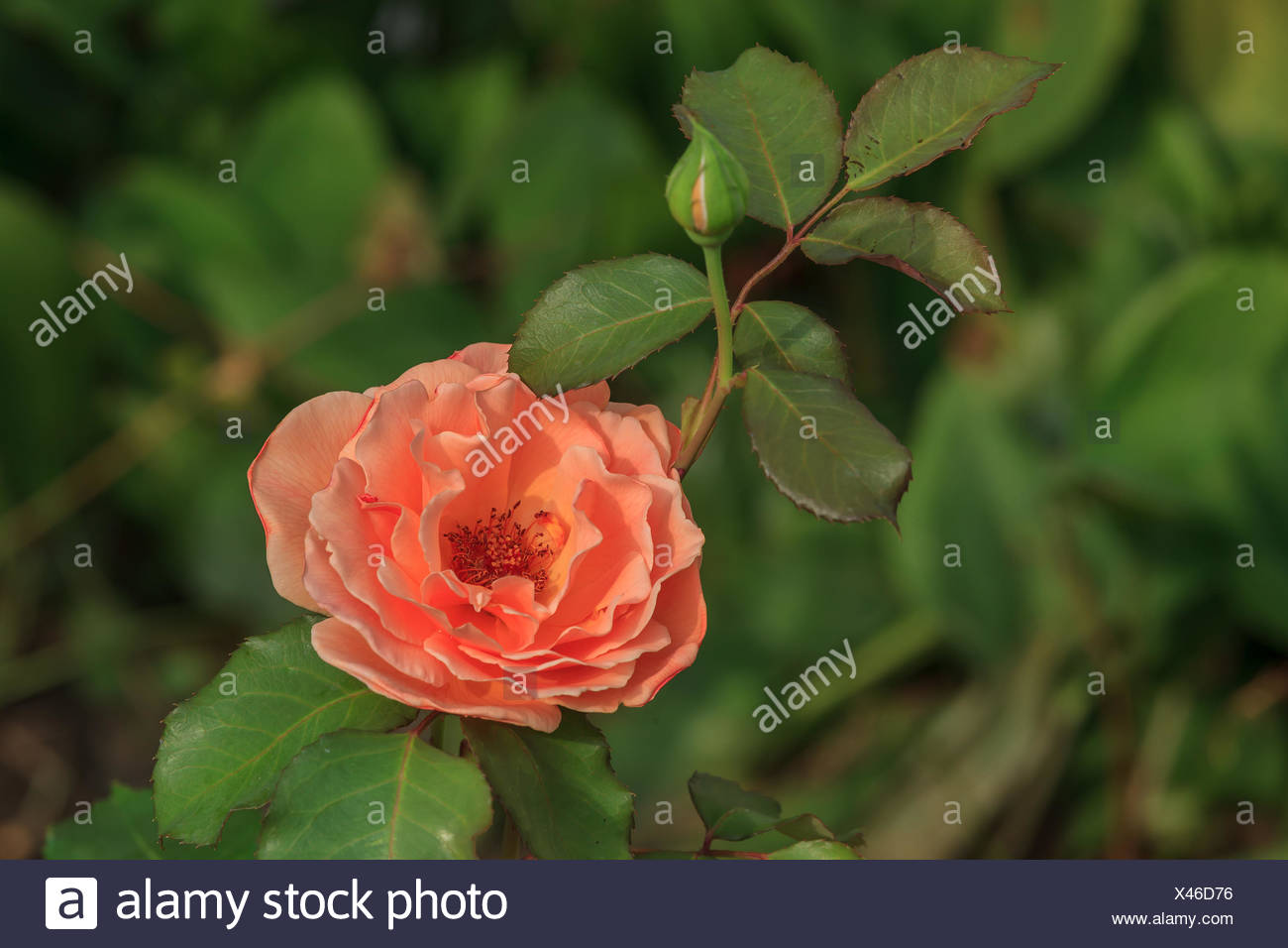 rosebush with flower and bud Stock Photo