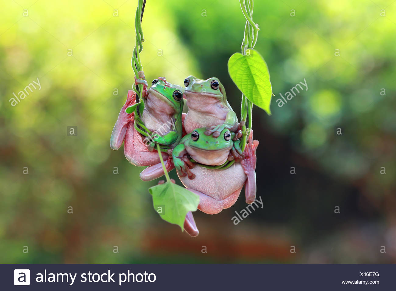 Three dumpy tree frogs hanging on vine, indonesia - Stock Image