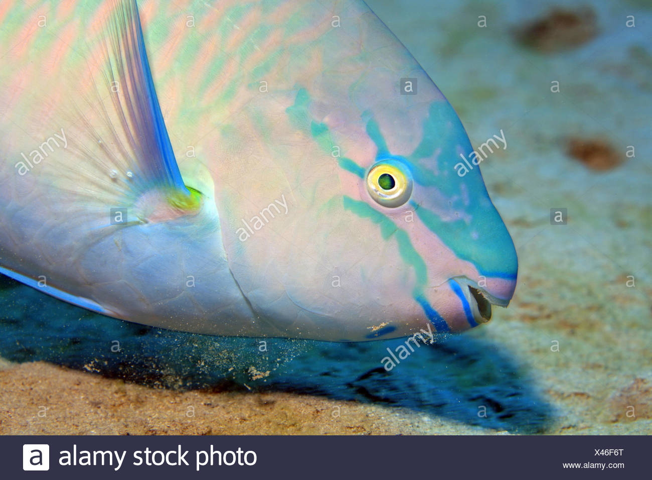 Papageienfisch, Parrotfish - Stock Image