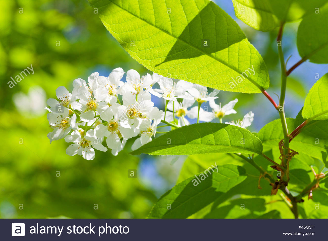 Blossoms of a bush, Salzburger Land, Austria, close-up - Stock Image