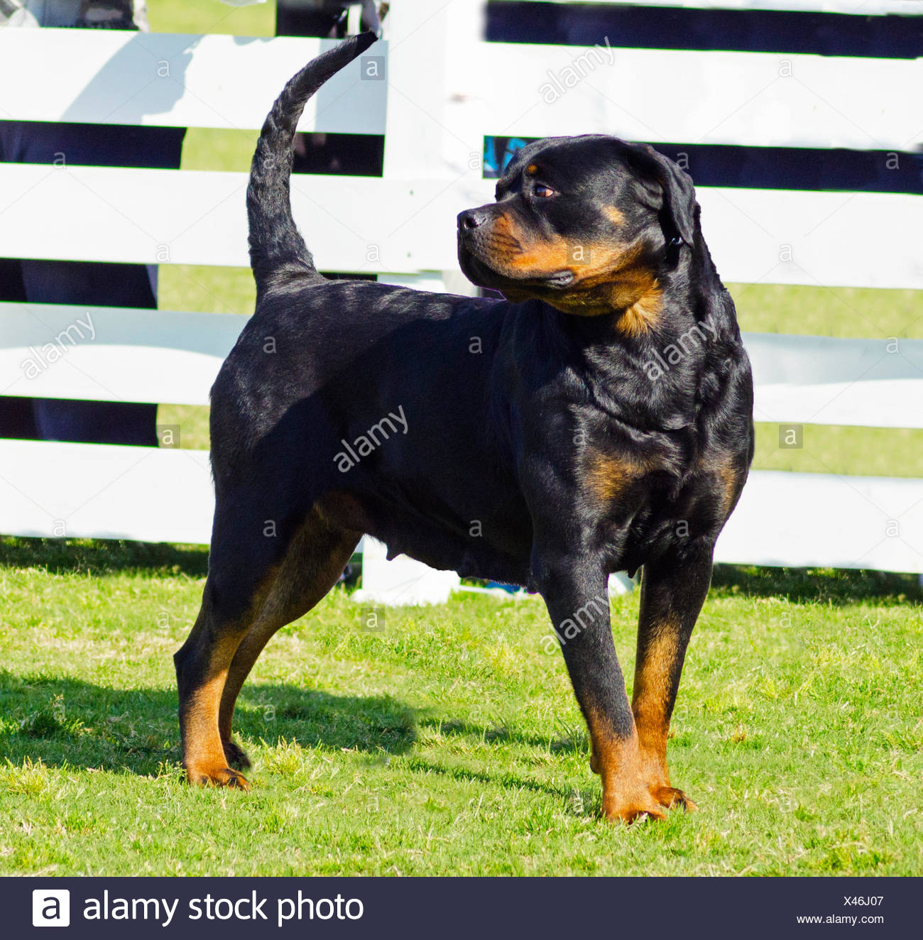 animal guard dog watchdog rottweiler security safety protector walk go going walking friendship beautiful beauteously nice big - Stock Image