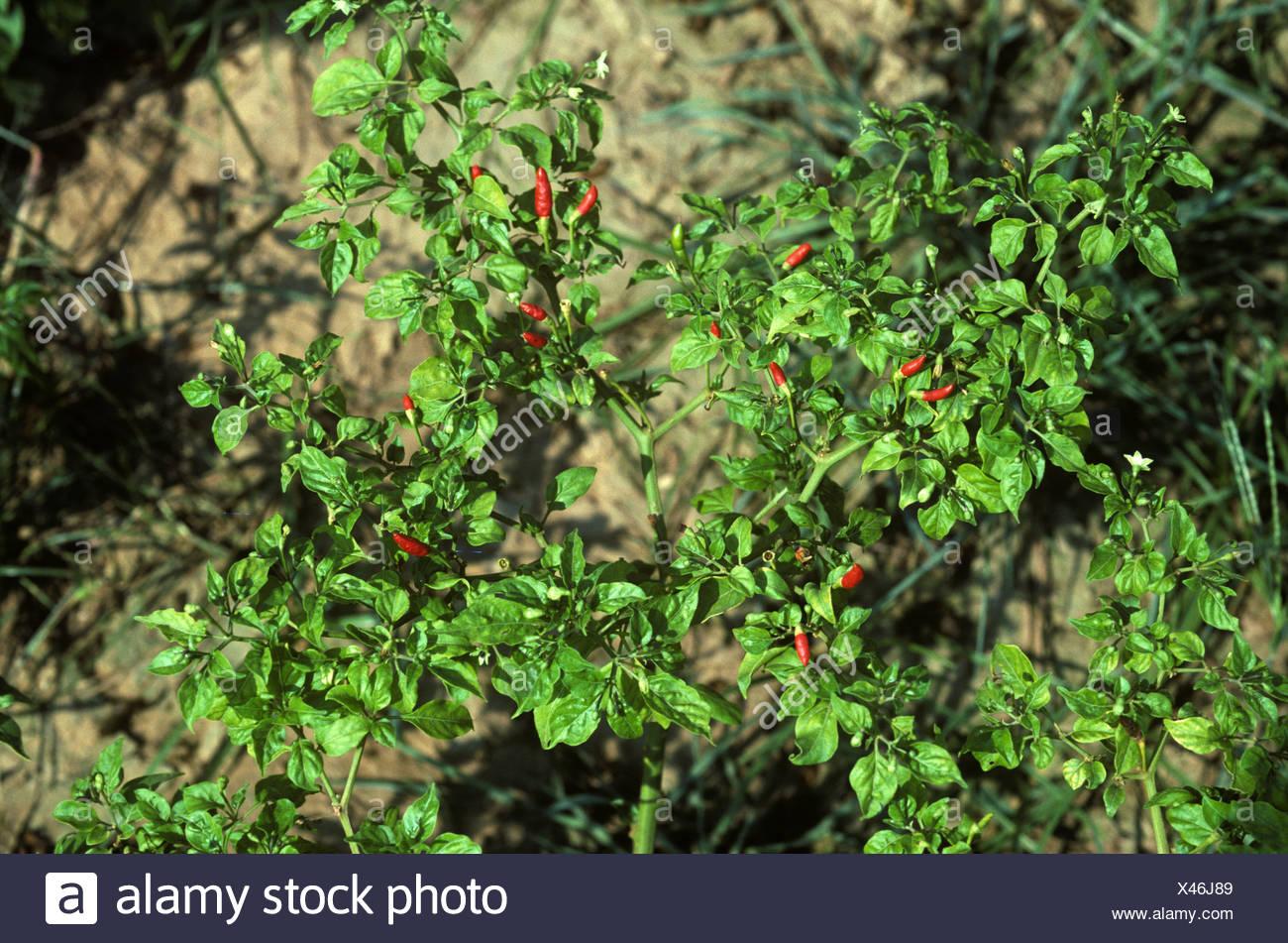 Chili mosaic virus damage to fruiting bird chili pepper crop Thailand - Stock Image