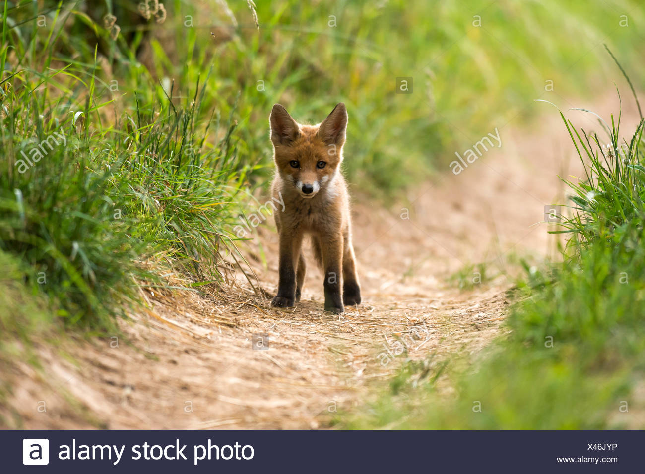Young red fox (Vulpes vulpes) standing on path, Young Animal, Puppy, Baden-Württemberg, Germany - Stock Image