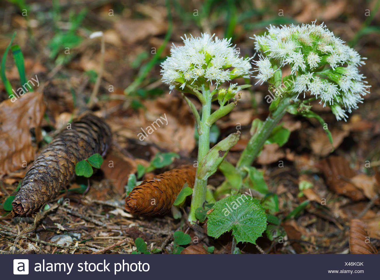 Alpine butterburr (Petasites paradoxus), blooming, Germany, Bavaria, Oberbayern, Upper Bavaria - Stock Image