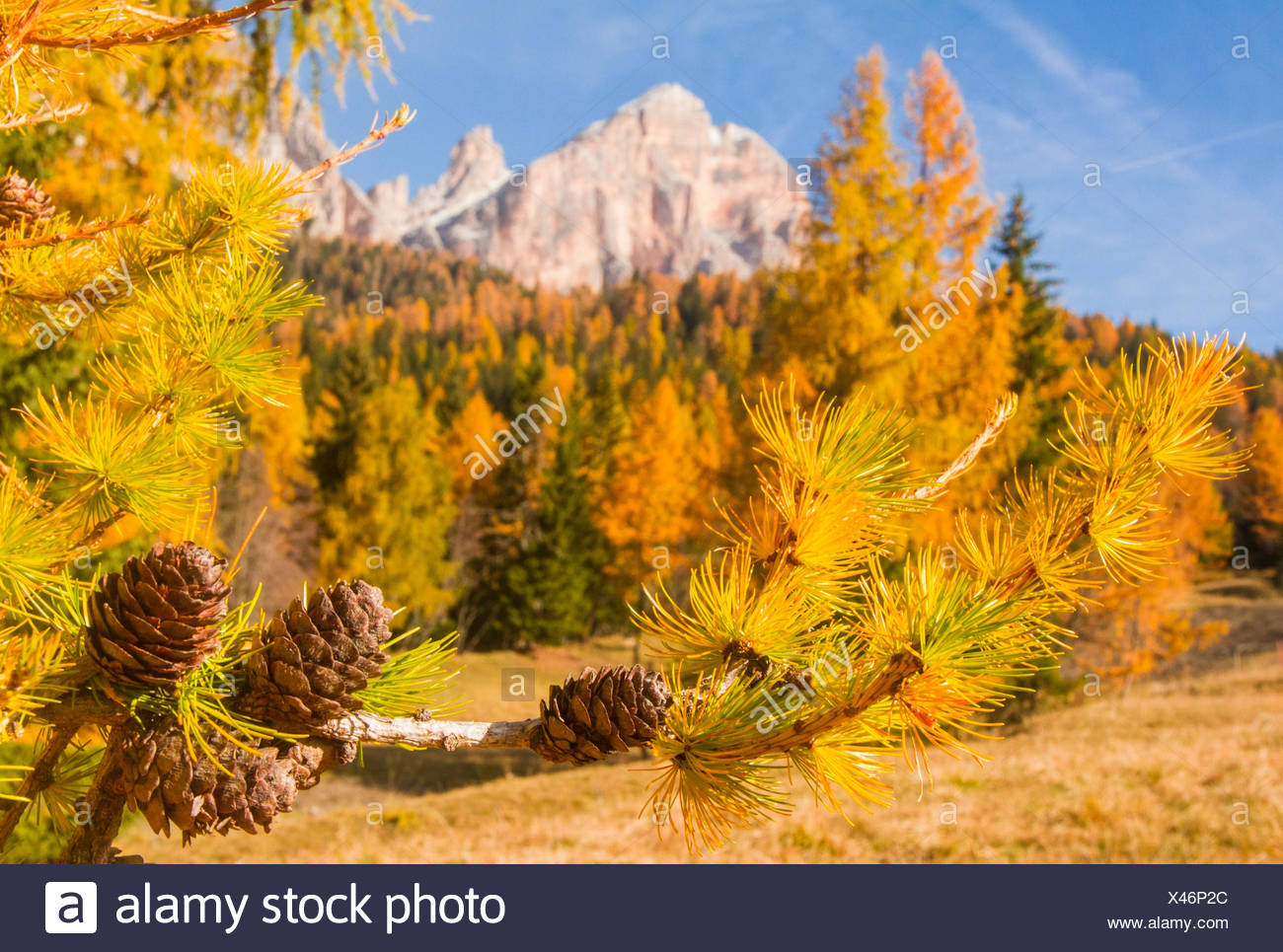Europe, Italy, Veneto, Cortina d' Ampezzo, Autumn between larix and pinecones in Dolomites - Stock Image