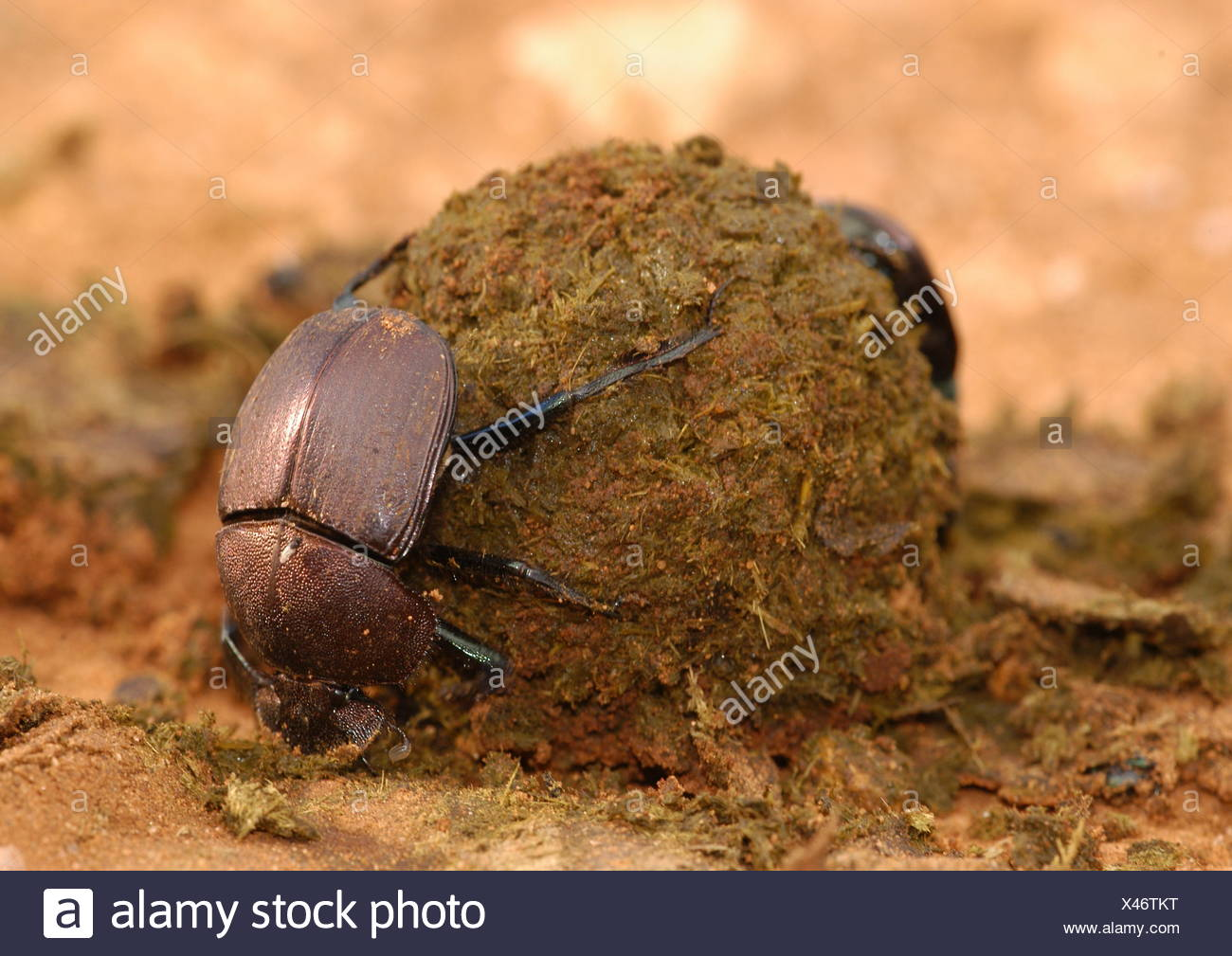 zoology animals insects beetles scarabaeidae dung beetle