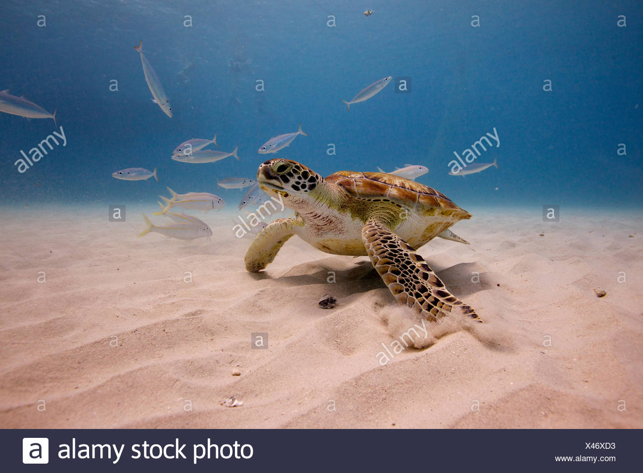 A turtle in waters off Barbados. - Stock Image