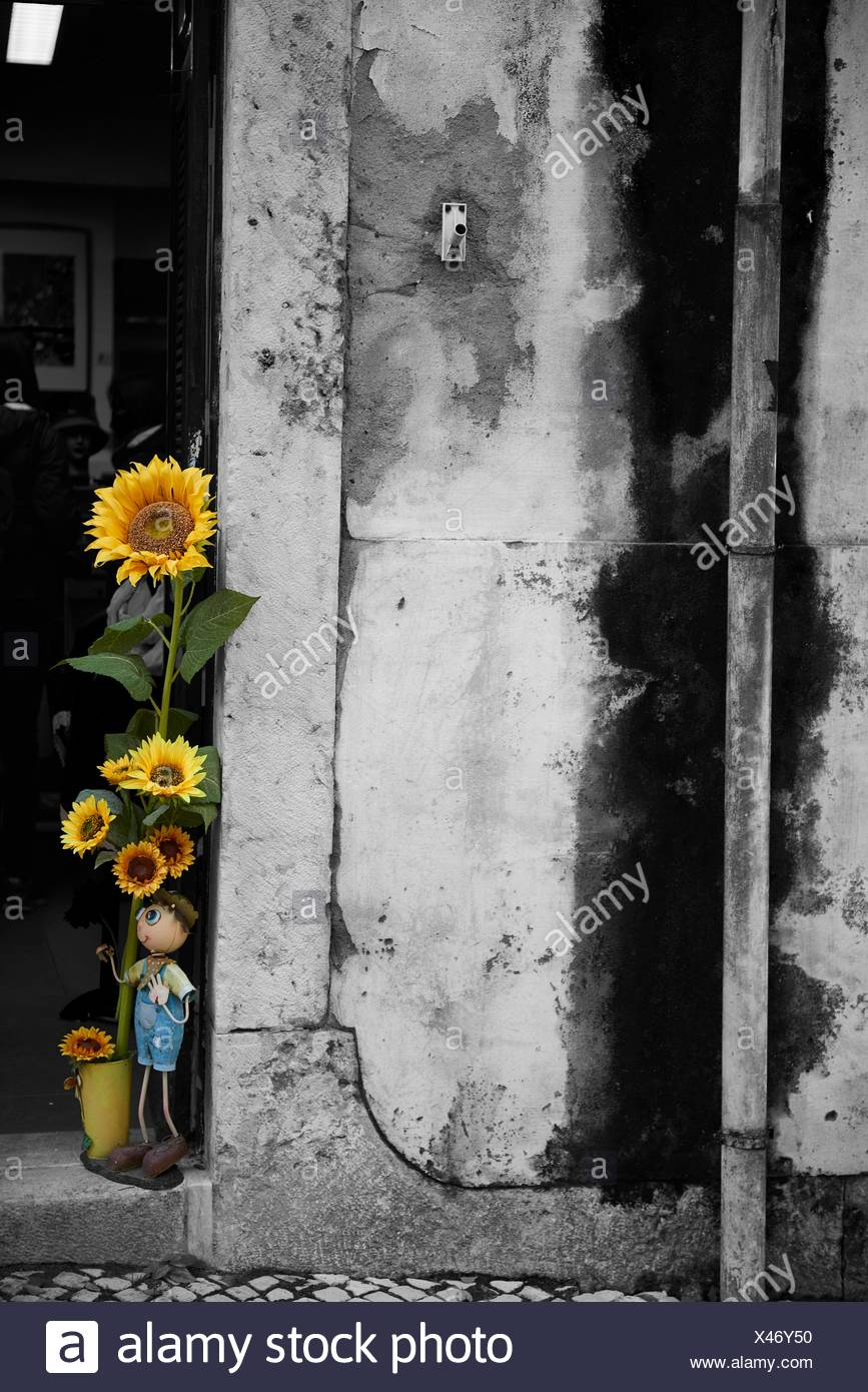 Photograph in black and white mixed with colour of Sunflower, Lisbon, Portugal, Europe - Stock Image