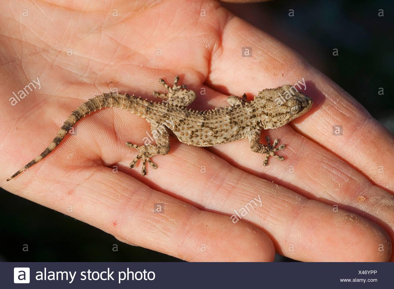 common wall gecko, Moorish gecko (Tarentola mauritanica), sitting on a hand - Stock Image