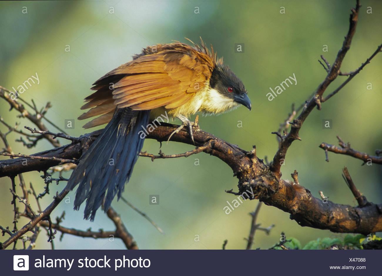 Burchell's Coucal (Centropus burchelli), ruffling up its plumage, Mkuzi Game Reserve, KwaZulu-Natal, South Africa - Stock Image
