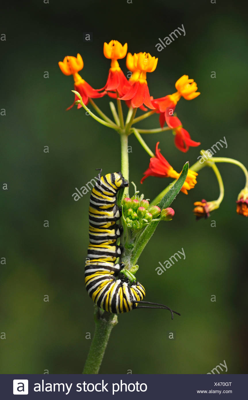 Caterpillar of a monarch butterfly (Danaus plexippus), eating flower buds of Mexican butterfly weed (Asclepias curassavica) - Stock Image