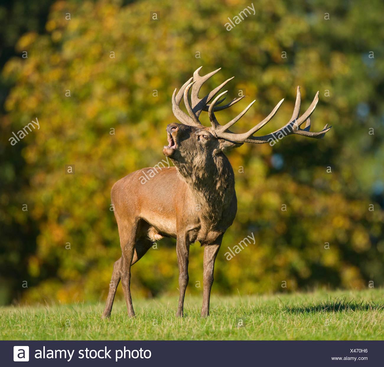 Red Deer (Cervus elaphus) bellowing during rutting season, captive, Lower Saxony, Germany - Stock Image