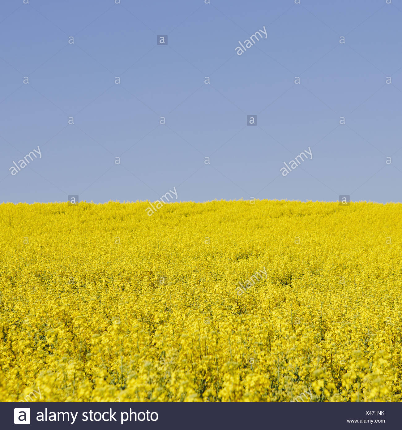 Field of blooming mustard seed plants flowering in Spring, near Pullman in Washington state. - Stock Image