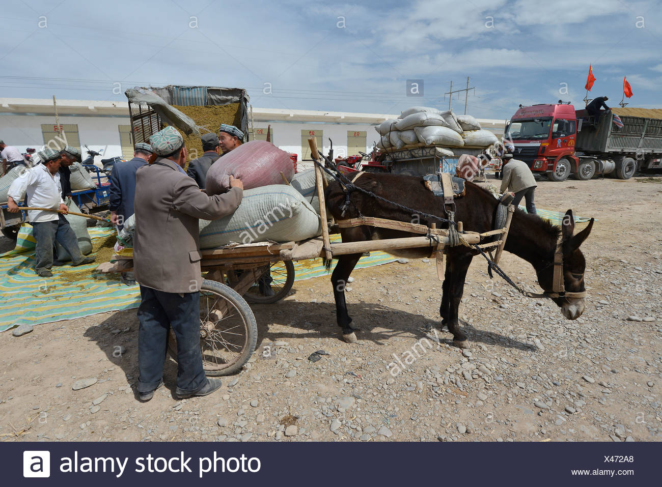 Muslim man, Uyghur with a cap loading his donkey cart with sacks of manure, fertiliser, Uyghur cattle market, Sunday market - Stock Image