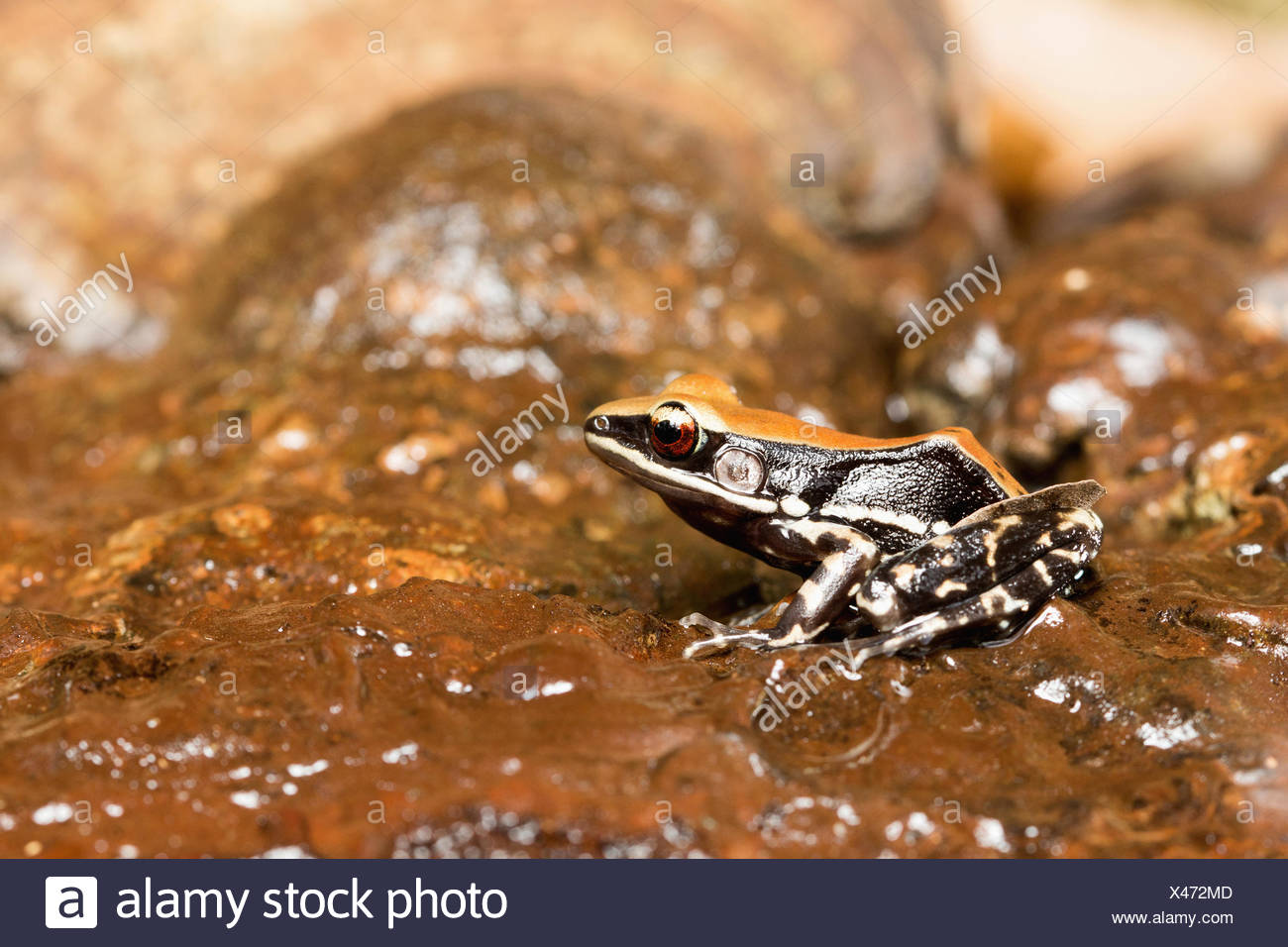 Fungoid frog, Hydrophylax bahuvistara, Kanger Valley National Park, Chhattisgarh. A large colourful frog. - Stock Image