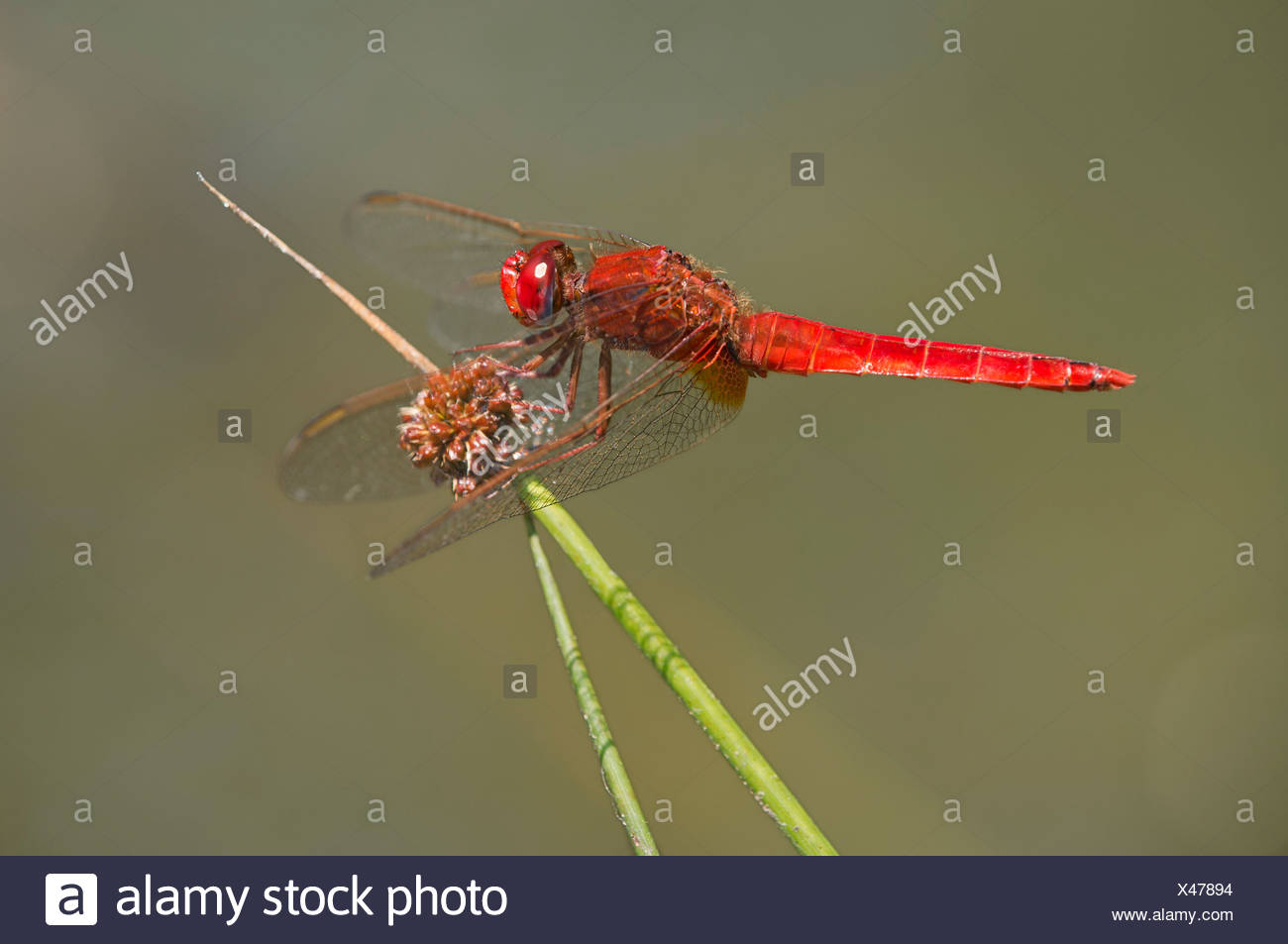 Scarlet Dragonfly (Crocothemis erythraea), male Stock Photo