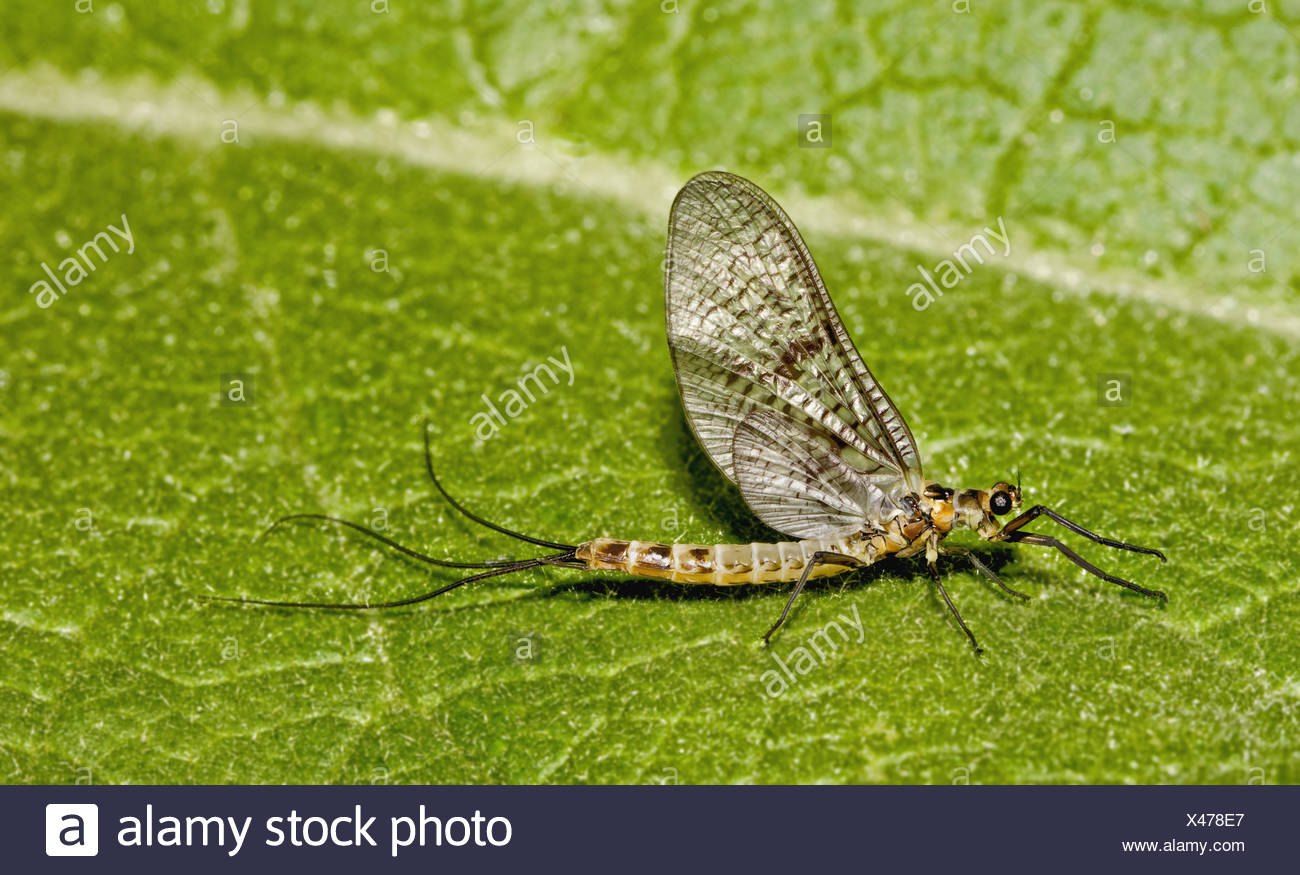 Mayfly Ephemera danica - Stock Image
