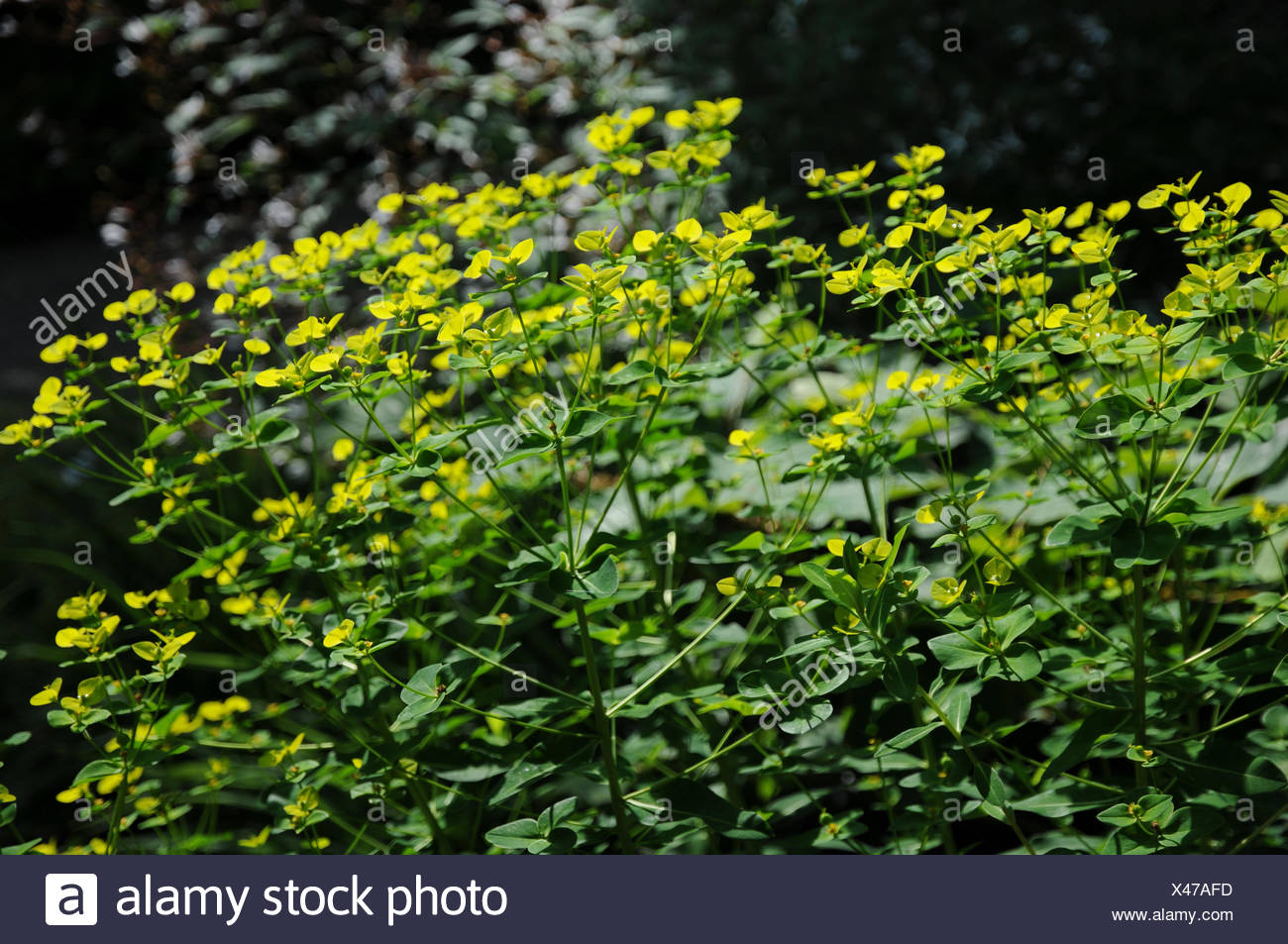 Wallich spurge - Stock Image