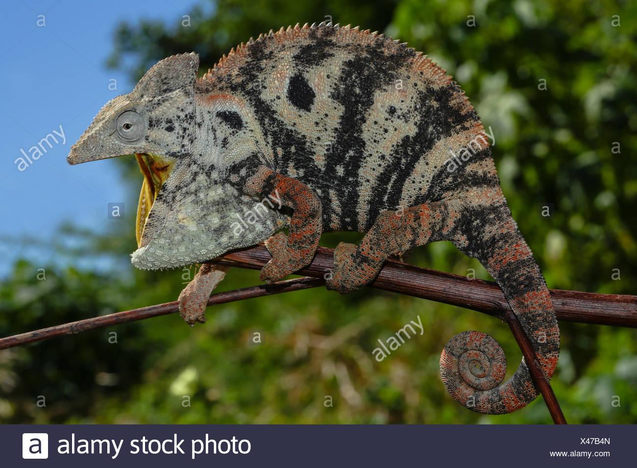 Open mouthed female Malagasy Giant Chameleon (Furcifer oustaleti), Amborondolo, Sofia, Central Madagascar, Madagascar - Stock Image